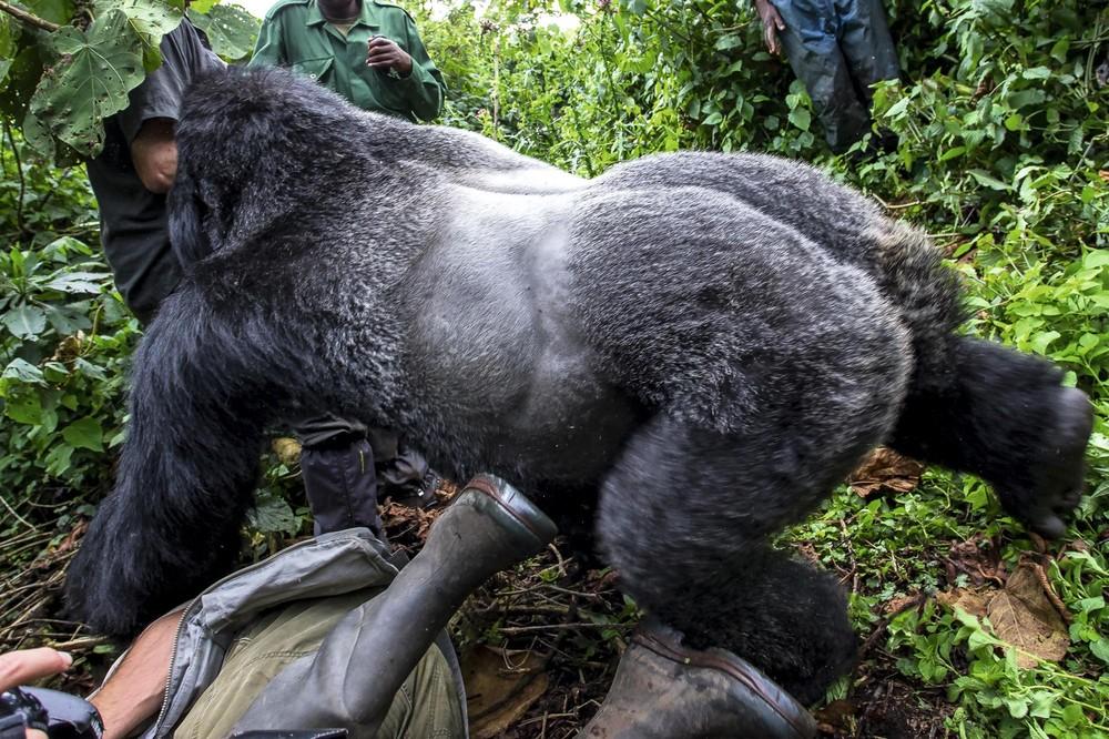 Pianaia gornaia gorilla -3