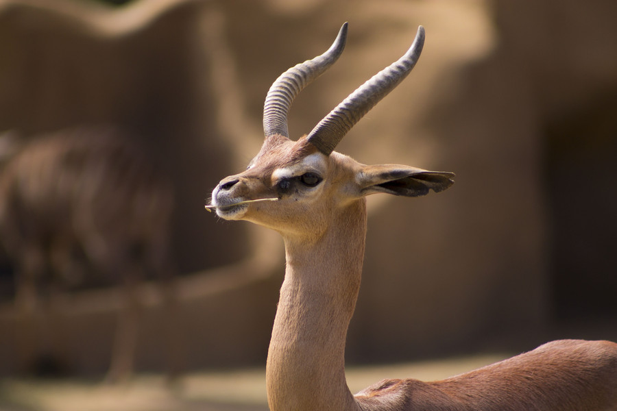 Photograph Gerenuk by Andrew Butterfield on 500px