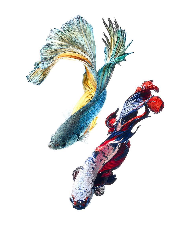 Элегантные портреты бойцовых рыбок
