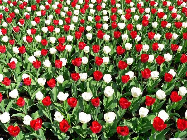 17-bunga-tulip