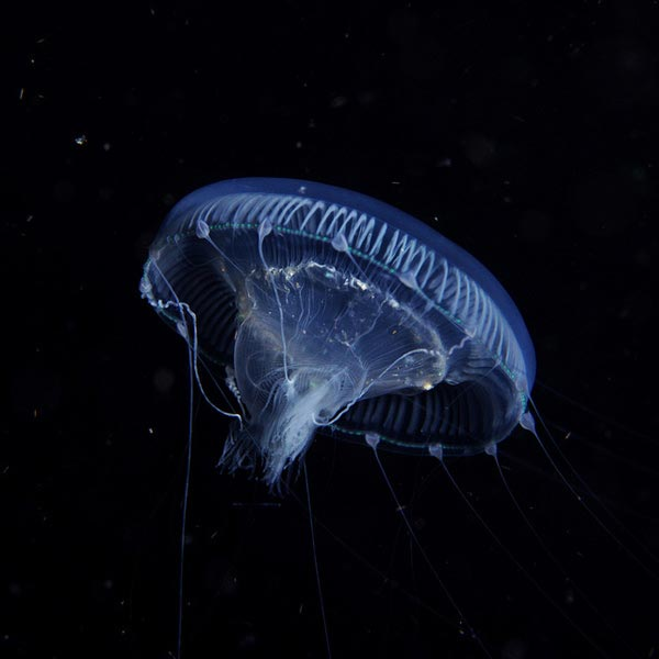 Jellyfish-pictures-7