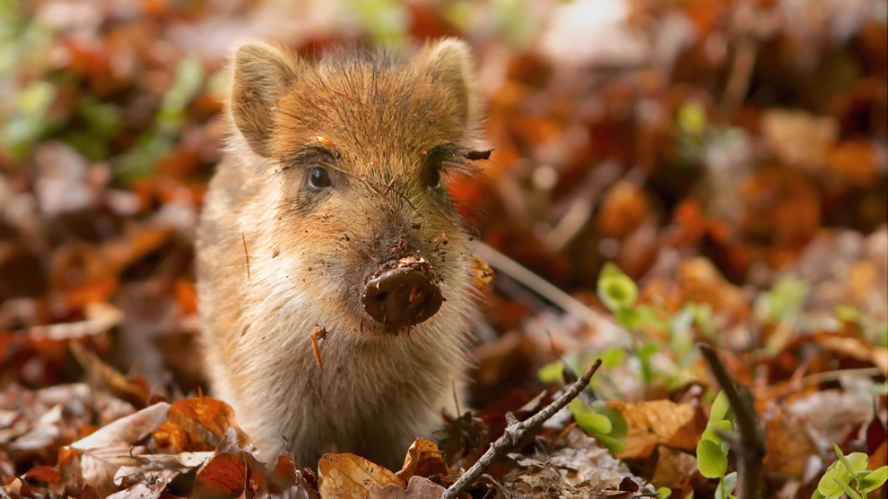 Messy-baby-boar-playing-in-the-autumn-forest
