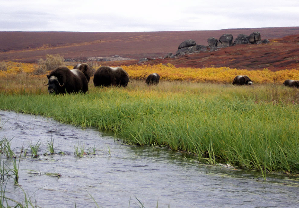 Muskoxen-and-Strokes-of-Autumns-Colors-At-Serpentine-Hot-Springs-Alaska