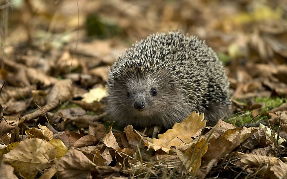 Small-hedgehog-in-the-crunchy-fallen-leaves-of-late-autumn