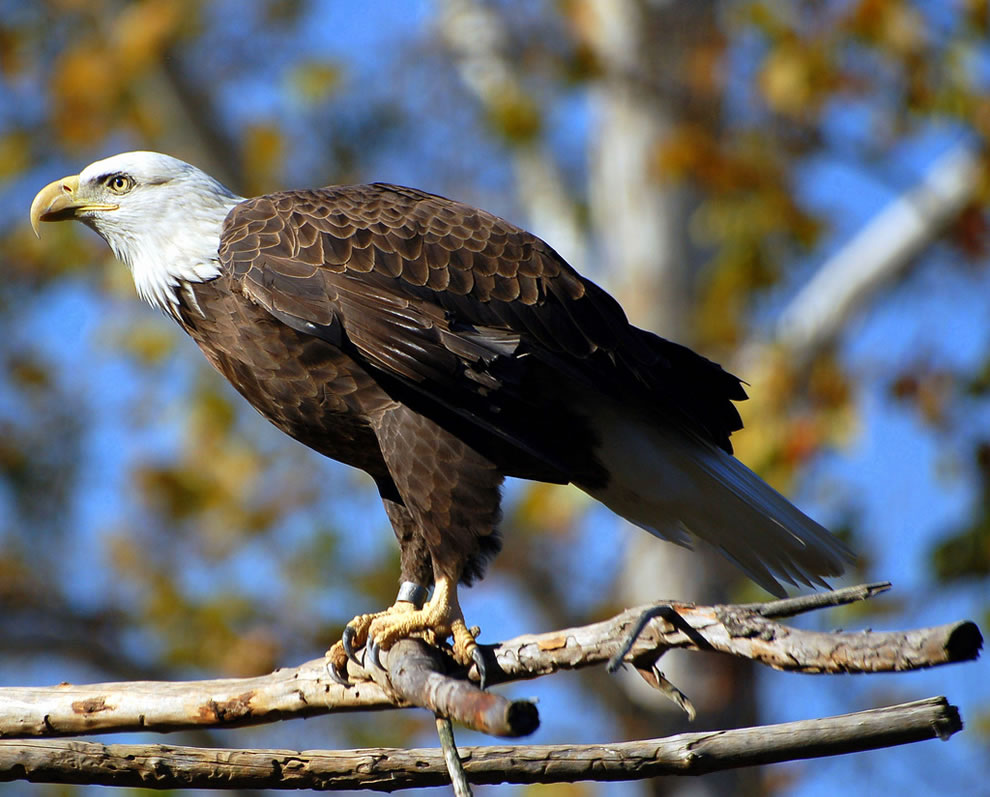 Autumn-bald-eagle