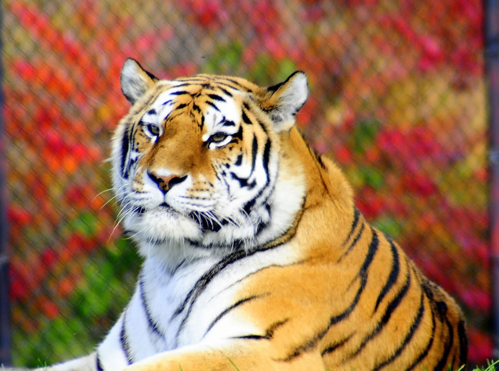 Autumn-in-Canada-tiger-at-the-Toronto-Zoo