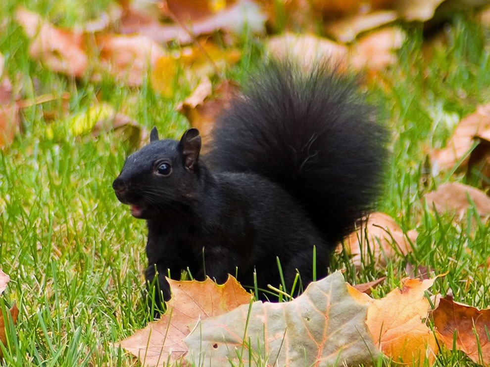 http://cameralabs.org/media/cameralabs/images/Dasha/00013_year/009/19/1/2/Black-Squirrel-in-Autumn-Leafs.jpg