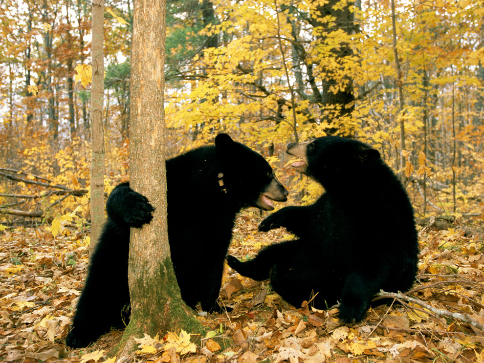 http://cameralabs.org/media/cameralabs/images/Dasha/00013_year/009/19/1/2/Black-bears-in-autumn-forest.jpg