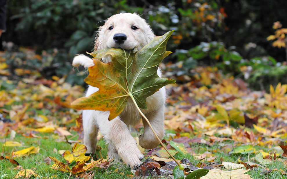 During-Autumn-Playful-pup-toting-a-huge-fallen-leaf