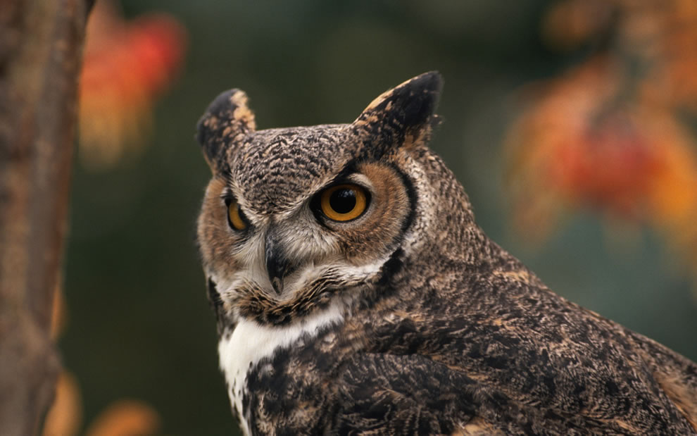 Great-Horned-Owl-with-blurred-autumn-foliage