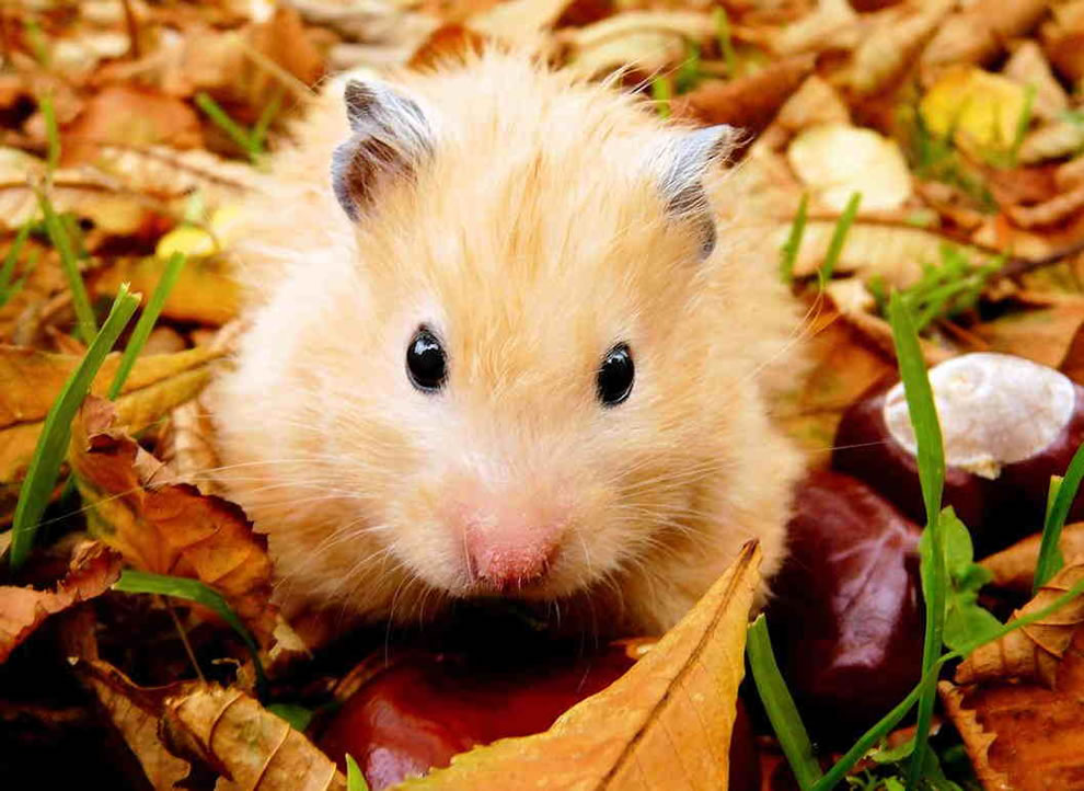 Hamster-playing-outside-in-the-autumn-leaves