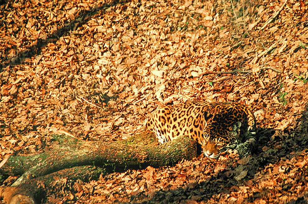 Jaguar-effectively-hidden-in-the-fall-landscape