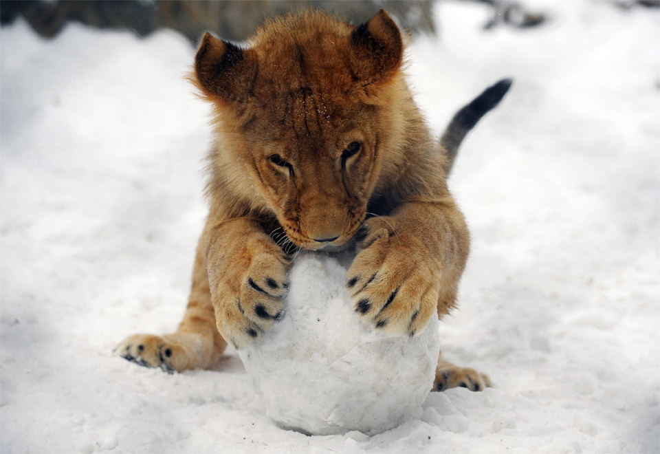 baby-lion-plays-with-snowball