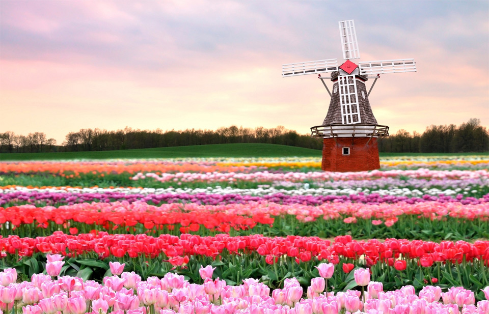traditional-windmill-in-tulip-field