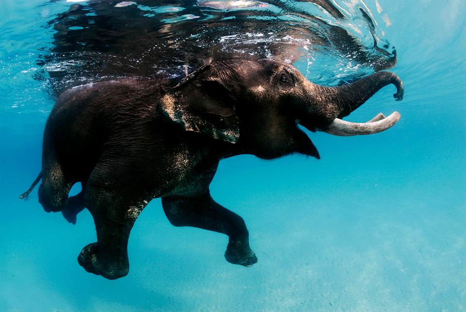 swimming-elephant-andaman-islands