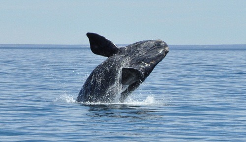 Right-Whale-Breeching