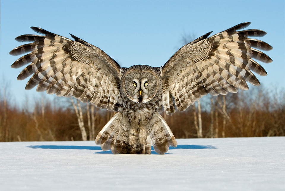 great-grey-owl5
