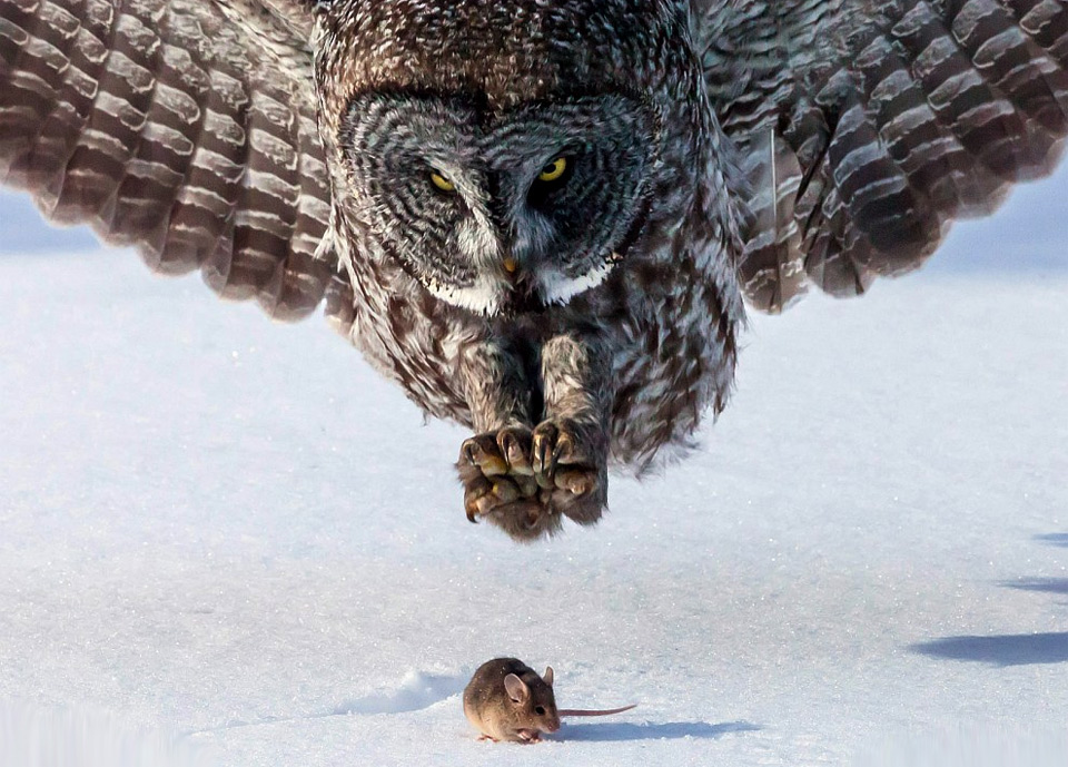 grey-owl-hunts-a-mouse6