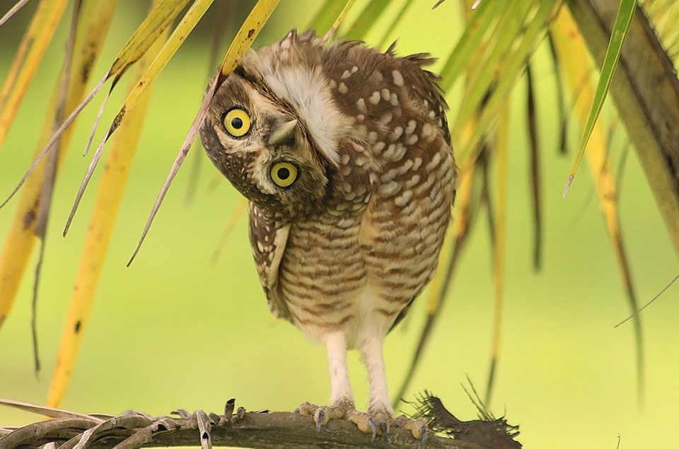 owl-tilts-her-head3