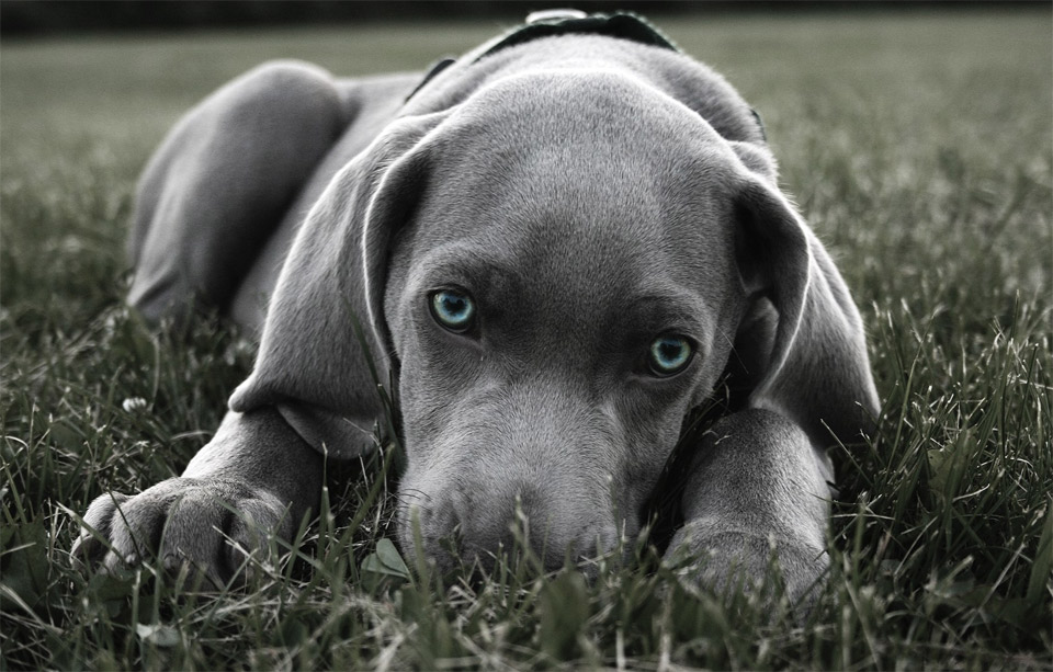3blue-eyed-weimaraner-puppy