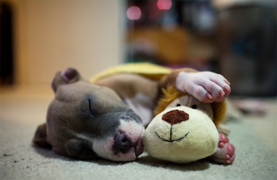 7puppy-pitbull-napping