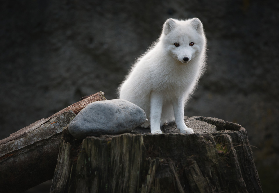 11young-artic-fox
