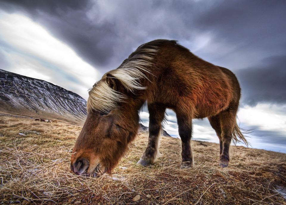 13iceland-wild-horse Природа «ледяной страны» - 35 пейзажных фотографий Исландии