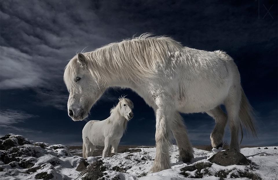 31white-wild-horses-iceland Природа «ледяной страны» - 35 пейзажных фотографий Исландии