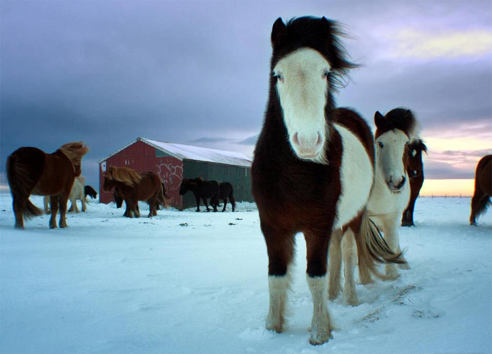 4a-herd-of-icelandic-horses Природа «ледяной страны» - 35 пейзажных фотографий Исландии