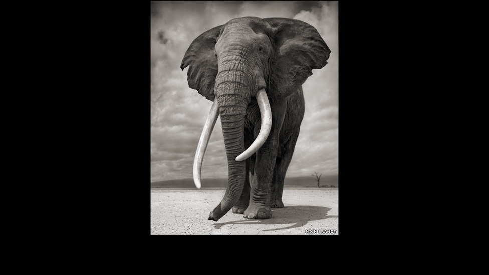 7 70617967 elephant-on--bare-earth--a