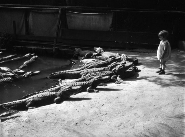 На калифорнийской ферме аллигаторов можно было поиграть с крокодилами как с домашними животными