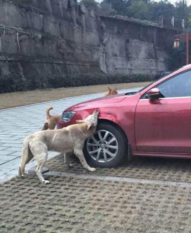 Как бродячие собаки громили автомобиль, который занял их место