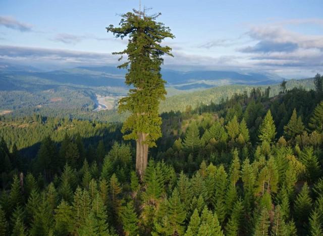 Гиперион – самое высокое дерево в мире