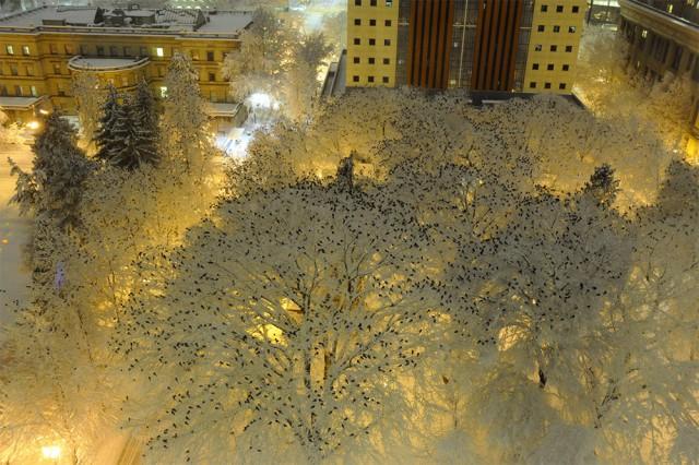 Тысячи ворон на верхушках заснеженных деревьев в центре Портленда