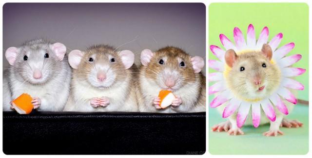 Фотографии домашних крыс, доказывающие, что они настоящие милахи