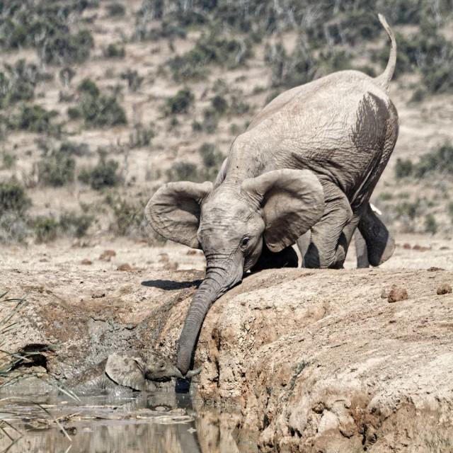 Слонёнок упал в воду во время водопоя