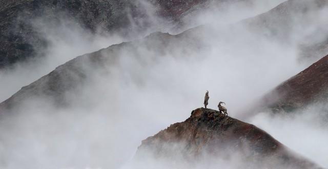 Гималайский козёл