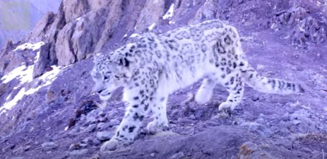 Видео: редкие кадры неуловимого снежного барса в Гималаях