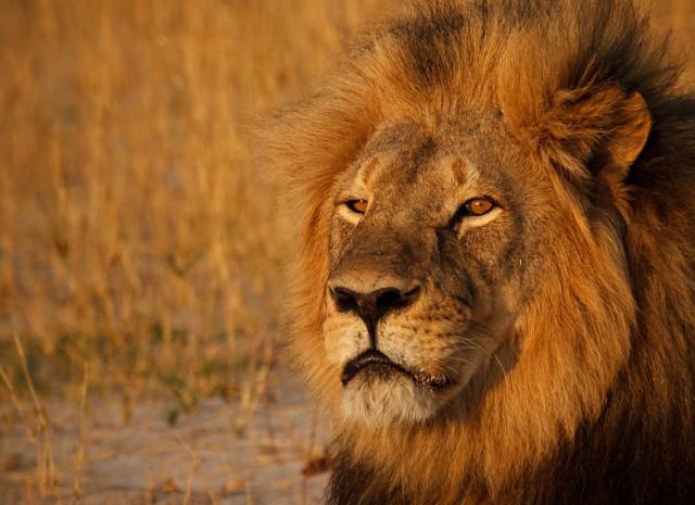 Прощай, Сесил: 10 фотографий знаменитого льва, которого убил американский дантист