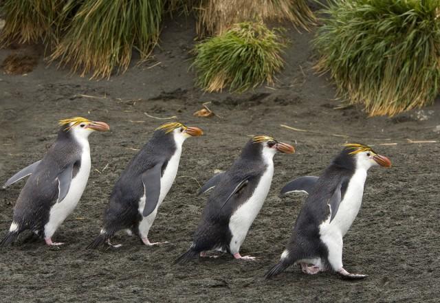 Маккуори – крошечный зелёный остров, где правят пингвины