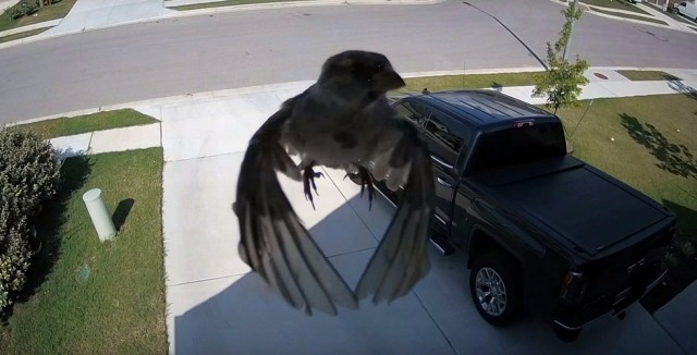 Видео: когда частота кадров синхронизирована с крыльями птицы