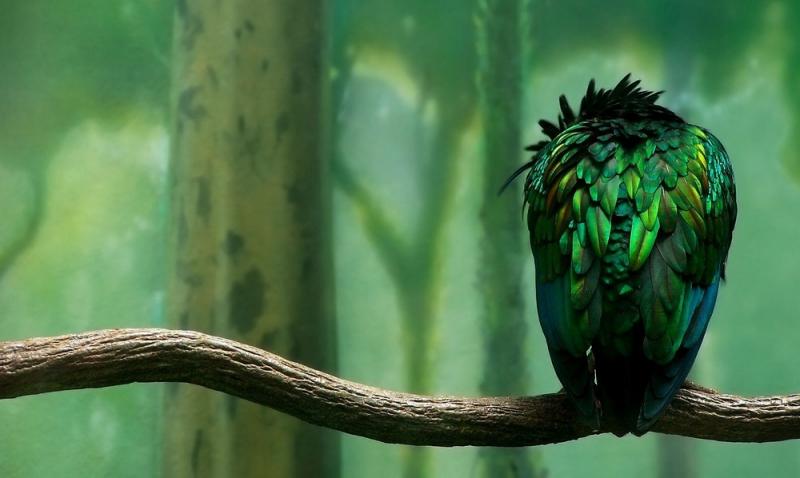 Никобарский голубь - экзотическая птица