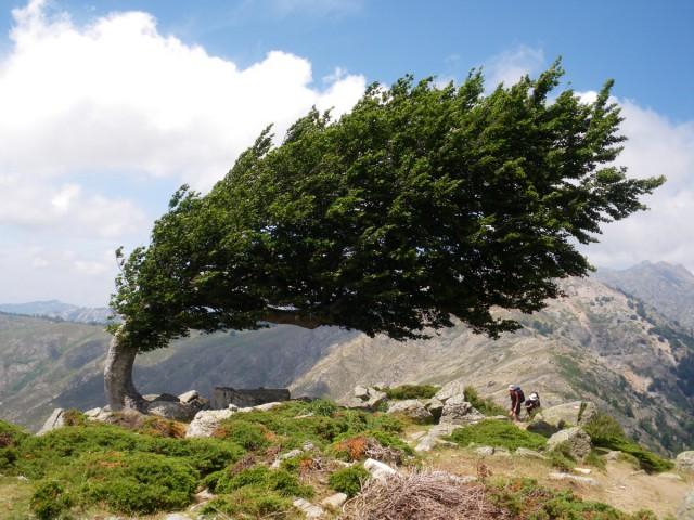 Дерево сохранило такую форму из-за постоянных сильных ветров