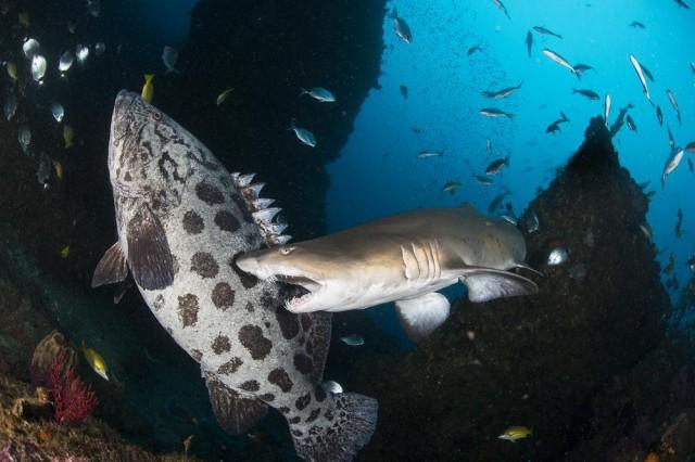 Раздосадованная акула