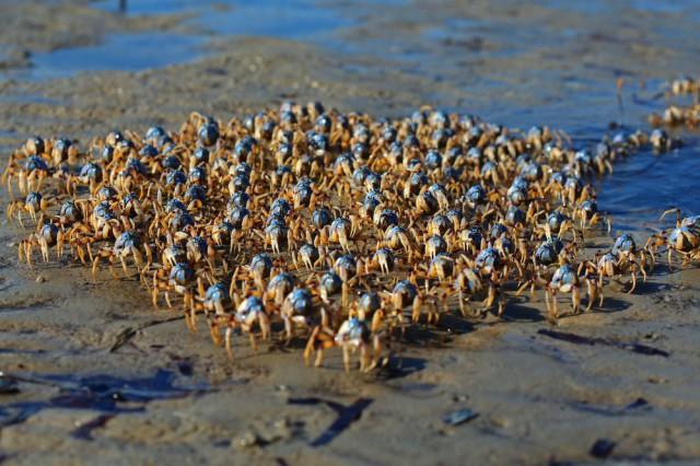 Голубые крабы-солдаты