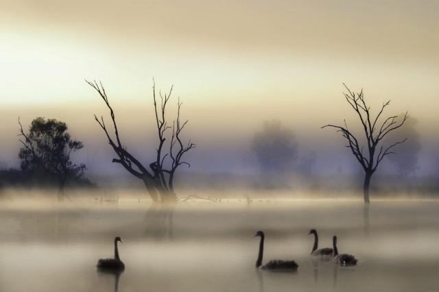 Лагуна с чёрными лебедями