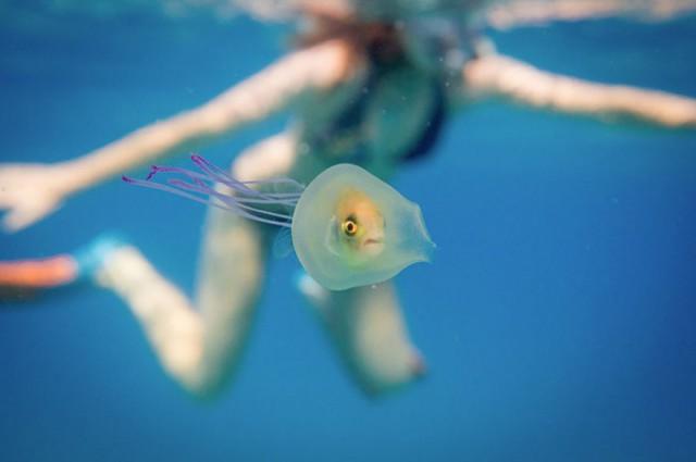 Рыба плавает внутри медузы
