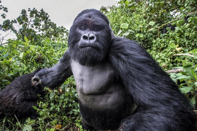 Эта горная горилла совершенно пьяна!
