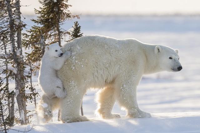 Чтобы сделать эти фотографии с полярными медведями, потребовалось 117 часов ожиданий в 50-градусный мороз