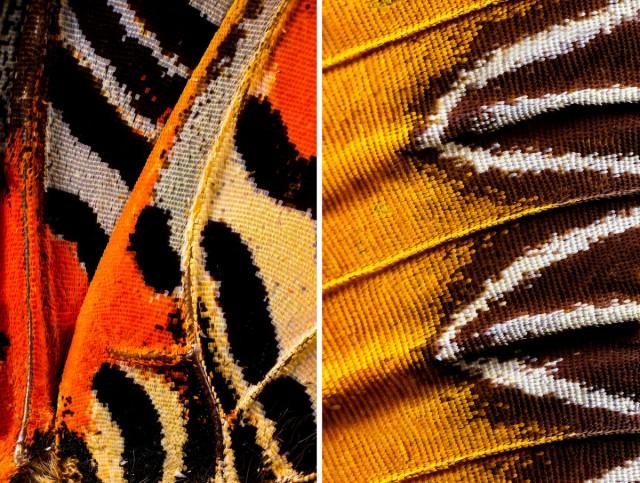 «Крылья бабочек» – микрофотографии с немыслимыми узорами